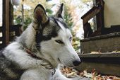 stock photo of husky sled dog breeds  - sled Siberian husky dog with blue eyes in Quebec country Canada - JPG