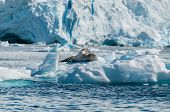 Leopard Seal Resting On Ice Floe Antarctica