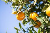 foto of valencia-orange  - Trees with orange typical in the province of Valencia Spain - JPG