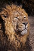 Portrait of a male African Lion (Panthera leo).
