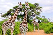 picture of herd  - Herd of giraffes in Kruger park South Africa - JPG