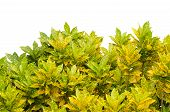 pic of crotons  - Codiaeum variegatum leaves isolated on white background - JPG