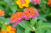 picture of lantana  - Lantana or Wild sage or Cloth of gold or Lantana camara flower in the garden - JPG