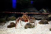 image of panulirus  - Mediterranean spiny lobster  - JPG