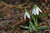stock photo of snowbell  - fresh white snowbell with small waterdrops in the forest and spring - JPG