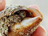pic of clam  - Clam peeking out of his shell - JPG