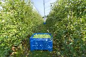 picture of hail  - Golden delicious apples in crates in modern orchard with protection net against hail - JPG