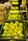stock photo of crate  - Golden Delicious Apples in crates on a conveyor belt - JPG