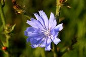 picture of chicory  - Singular Pretty blue Chicory flower  - JPG