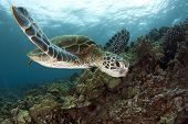 stock photo of plankton  - A Hawaiian green sea turtle glides over the reef near Kona Hawaii - JPG