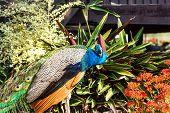 stock photo of peahen  - beautiful peacock at chiangsean lake chiangrai Thailand - JPG