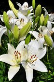 image of easter lily  - Flower clusters on a Easter Lily growing outdoors - JPG