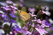 picture of gatekeeper  - A Gatekeeper butterfly resting in the sun on a purple flower - JPG