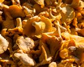 pic of chanterelle mushroom  - Chanterelle mushrooms for sale at a French market - JPG