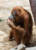 foto of orangutan  - One female orangutan eating tomato - JPG