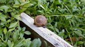 picture of slug  - a slug in the garden - JPG