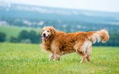 image of golden retriever puppy  - dog breed golden retriever lying in the field - JPG