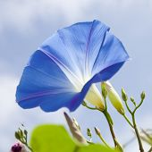 picture of ipomoea  - flowering blue ipomoea - JPG