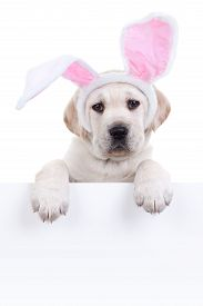 pic of bunny costume  - Easter bunny puppy dog in ears holding sign or banner - JPG