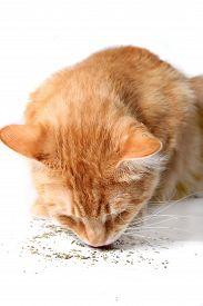 image of catnip  - Orange cat eating catnip a favorite treat of felines - JPG