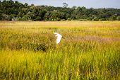 stock photo of marshes  - White snowy egret flying over wetland marsh - JPG
