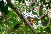 picture of gunung  - Cute baby hanging on a tree in Gunung Leuser National Park - JPG