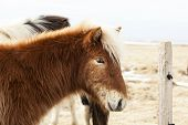 foto of pony  - Portrait of an Icelandic pony with blonde mane in a herd - JPG