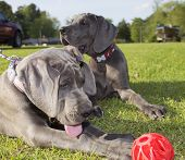 foto of great dane  - Great Dane puppies with one studying a red ball that is a little too far away to paw - JPG