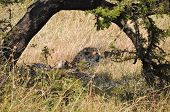 picture of cheetah  - Cheetah resting in the shade in African savanna. ** Note: Visible grain at 100%, best at smaller sizes ** Note: Shallow depth of field - JPG