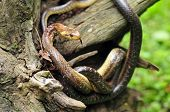 pic of tree snake  - Photo of aesculapian snake on a tree stump - JPG