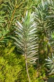 picture of fynbos  - Leaves of a Silver Tree Protea Leucadendron argenteum - JPG