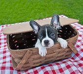 foto of peeking  - Cute French Bulldog peeking his cute little head out of a picnic basket - JPG