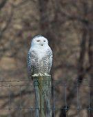 image of virginia  - Snowy owl on fence post in Virginia - JPG