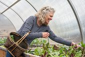 foto of gathering  - Pretty senior woman gathering salad greens in a basket in her greenhouse garden - JPG