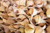 image of conch  - Many big White conch shell in Thailand - JPG