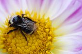Small Bumble Bee Gathering Pollen poster