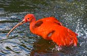 image of scarlet ibis  - Scarlet ibis taking a bath and splashing water around - JPG