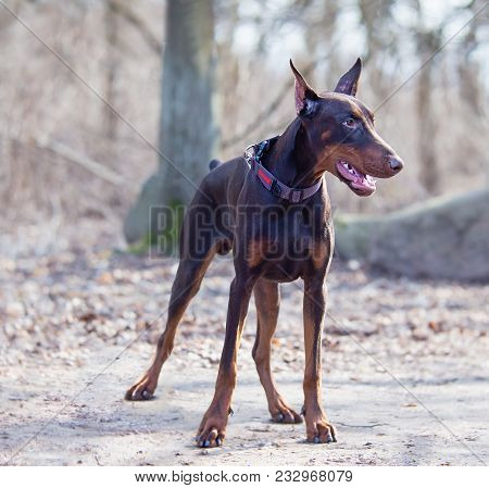 The Dobermann To Most Of