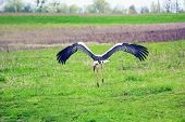 Stork Soars Above Green Field, Selective Focus poster