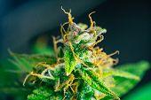 Macro Buds Of Marijuana Cbd Thc. Concepts Of Legalizing Medicinal Herbs Weed, Bud Cannabis, Macro Sh poster