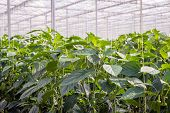 Постер, плакат: Young Paprika Plants In A Large Nursery The Plants Grow Along Crop Wires A Mature Plant Will Be 4