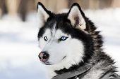 Cute breed siberian husky dog animal walking winter snow outdoor poster