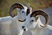 Two Dall's Sheep In Denali National Park Alaska