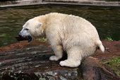 picture of defecate  - Young Polar Bear  - JPG