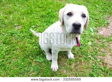 poster of Young Labrador Puppy Observing The Nature Around Her