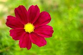 Garden Cosmos Or Mexican Aster (cosmos Bipinnatus) Purple Flower With Natural Green Background poster
