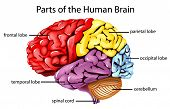 stock photo of temporal lobe  - Illustration of parts of the brain  - JPG