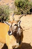 stock photo of eland  - A portrait of an African Eland in the desert - JPG