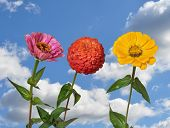 stock photo of zinnias  - Flowers Zinnia with green leaves and blue sky - JPG