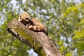 stock photo of coatimundi  - South American coati or ring - JPG